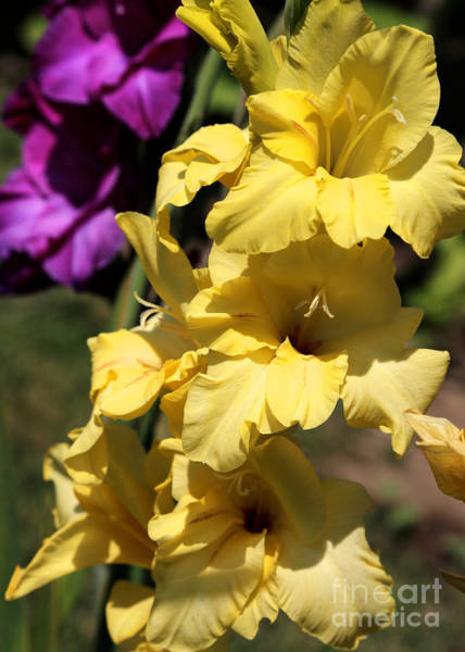 Photograph - Summer Yellow And Purple Glads by Carol Groenen