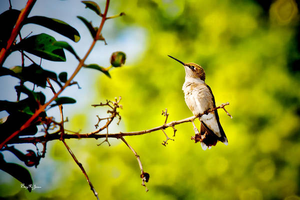 Photograph - Hummingbird - Perched - Summer's Almost Gone by Barry Jones