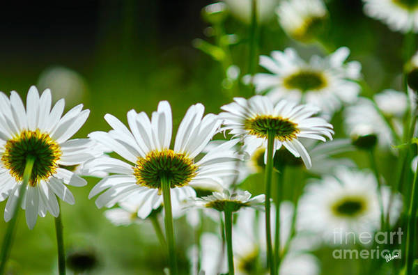 Photograph - Summer Time Daisys by Alana Ranney