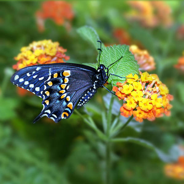 Papilio Polyxenes Wall Art - Photograph - Summertime Ornament by Nikolyn McDonald