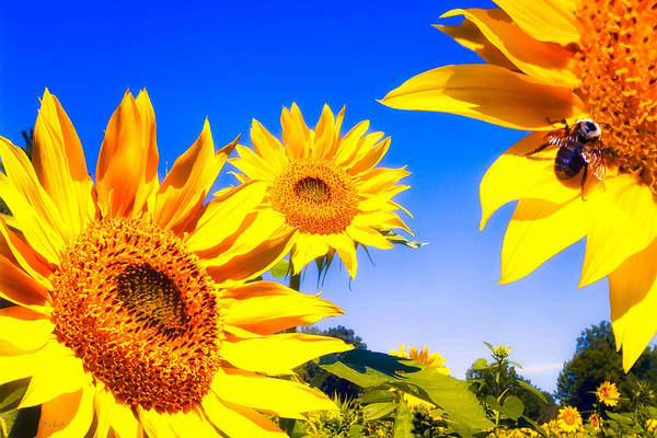 Wall Art - Photograph - Summertime Sunflowers by Bob Orsillo