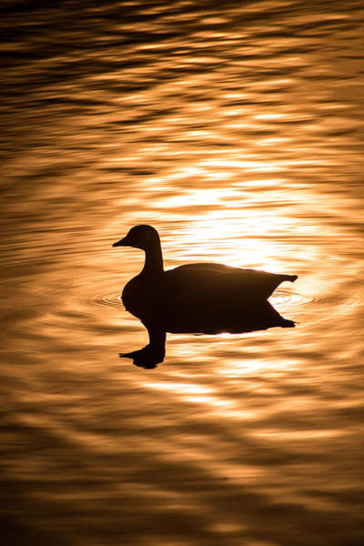 Photograph - Sun And Canadian Goose by Don Johnson