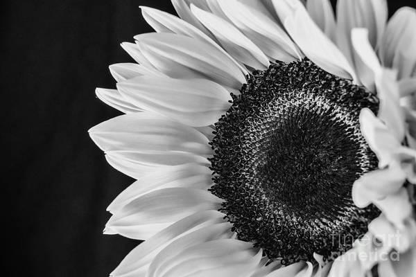 Photograph - Sun Flower 1 B N W by David Haskett II