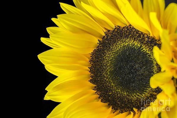 Photograph - Sun Flower 3 by David Haskett II