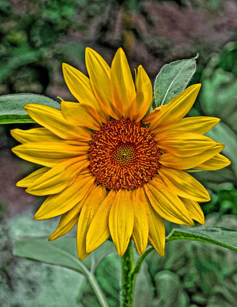 Photograph - Sun Flower by David Armstrong
