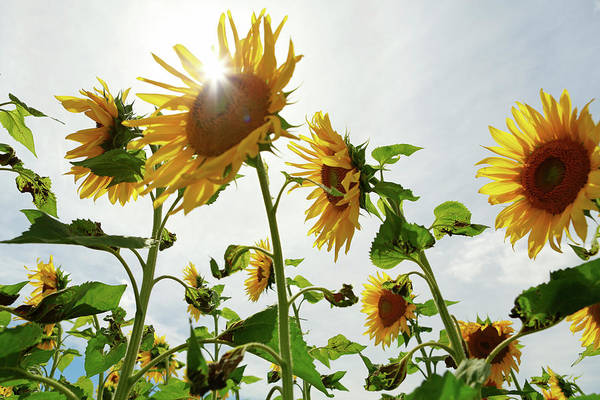Sunflower Seeds Photograph - Sun Flowers Sunflowers Sunflower Field by Jena Ardell