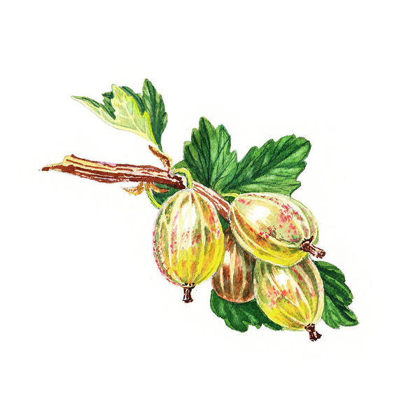 Painting - Sun Kissed Green Gooseberries by Irina Sztukowski