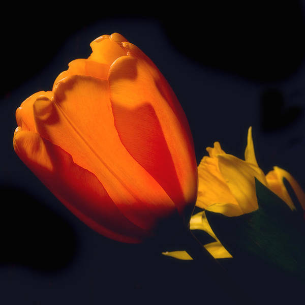 Photograph - Sun-kissed Tulip by Joann Vitali
