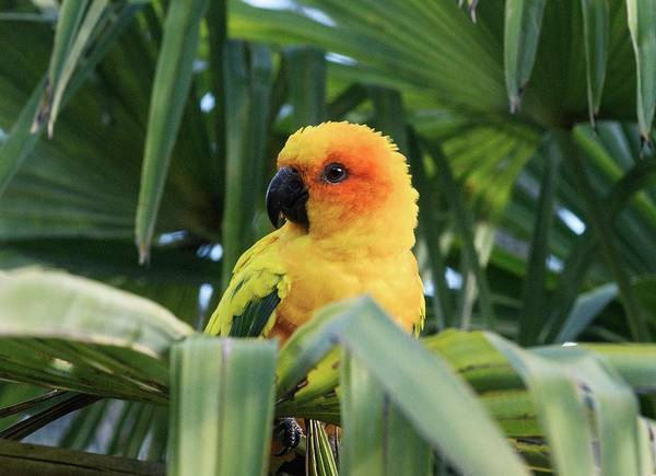 Wall Art - Photograph - Sun Parakeet In A Palm Tree by Brian Gadsby/science Photo Library