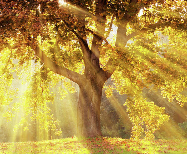 Photograph - Sun Rays Shining Through A Tree With by Kerrick