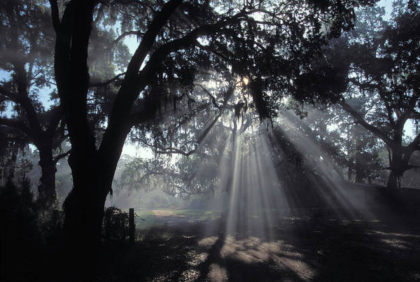 Wall Art - Photograph - Sun Rays Traveling Through The Branches by Peter Essick
