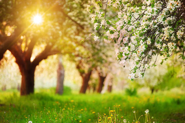 Environmental Conservation Photograph - Sun Shining Through The Blooming Tree - by Konradlew