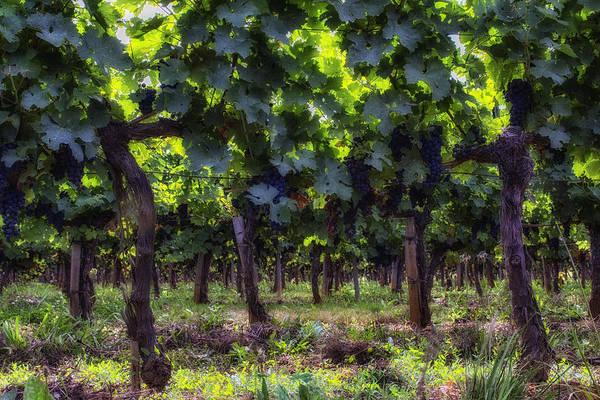 Photograph - Sun Shining Through The Grape Vines by Georgia Fowler