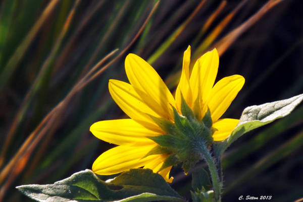 Photograph - Sun Worshiper by C Sitton