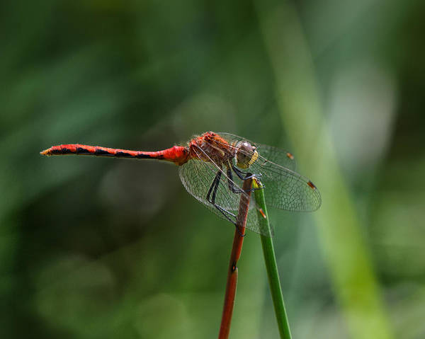 Dragonflies Photograph - Sun Worshiper by Susan Capuano