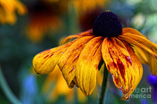 Photograph - Sunbathing Black Eyed Susan By Diana Sainz by Diana Raquel Sainz