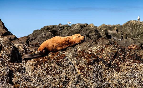 Photograph - Sunbathing Sea Lion by Stuart Gordon