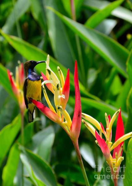 Photograph - Sunbird On Heliconia Ginger Flowers Singapore by Imran Ahmed