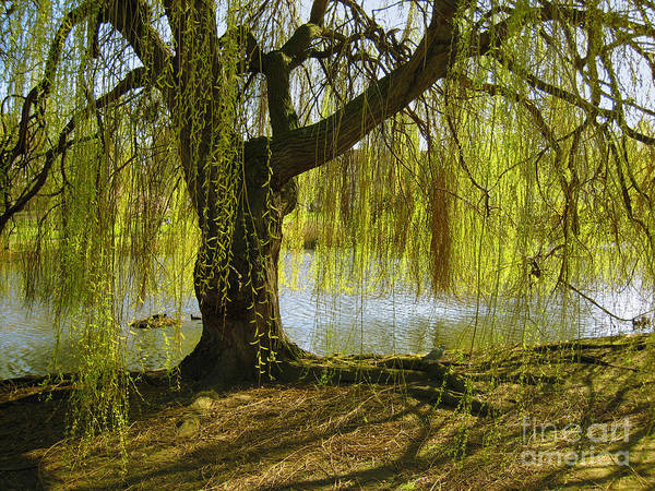 Weeping Willow Wall Art - Photograph - Sunday In The Park by Madeline Ellis