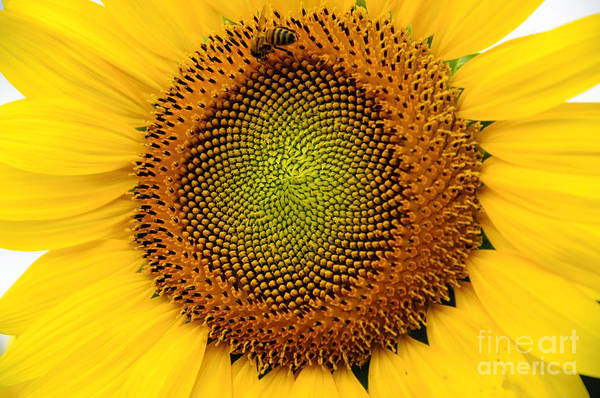 Photograph - Sunflower # 2 by Debra Fedchin