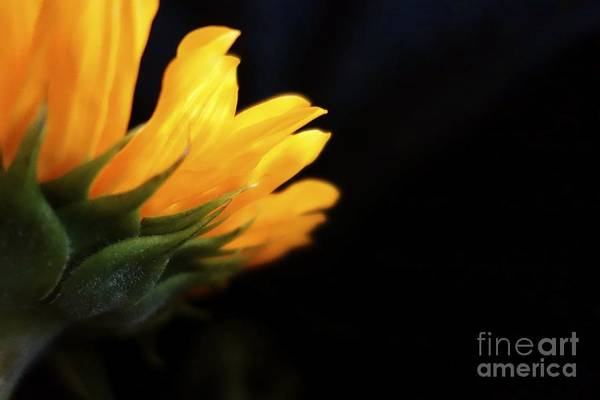 Photograph - Sunflower 1 by Jacqueline Athmann