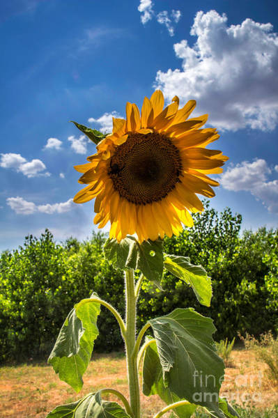 Photograph - Sunflower 1 by Jim McCain