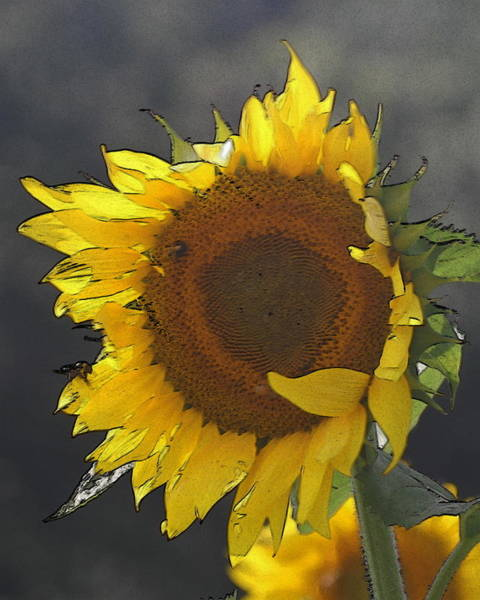 Conyers Photograph - Sunflower 2 by Cathy Lindsey