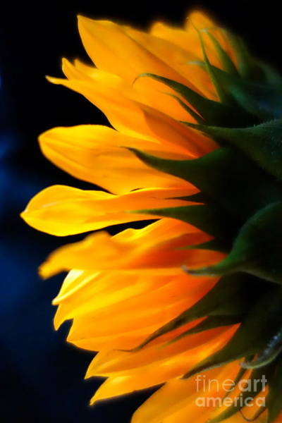 Photograph - Sunflower 2 by Jacqueline Athmann