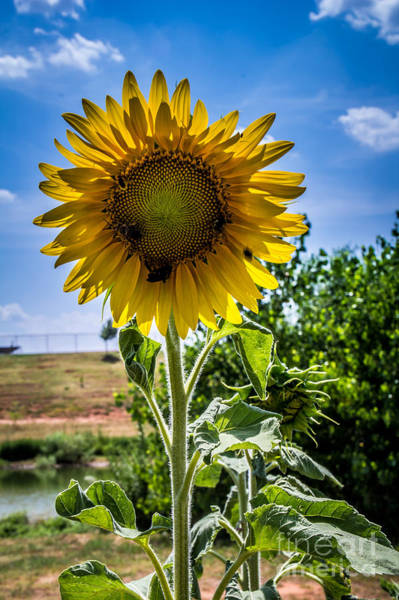 Photograph - Sunflower 2 by Jim McCain