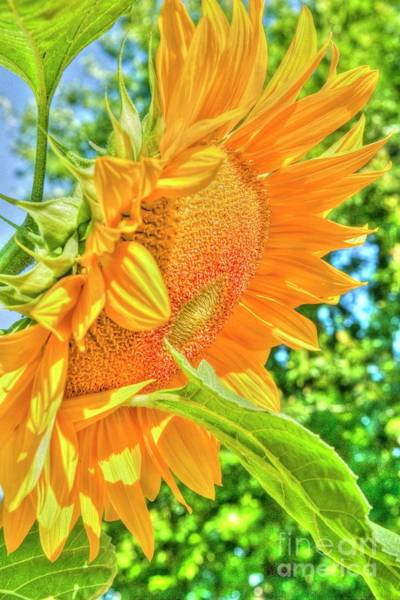 Mission Bc Photograph - Sunflower 2 by Rod Wiens