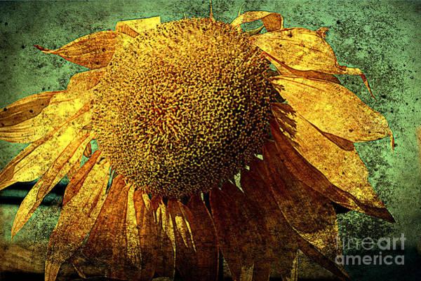 Photograph - Sunflower 2 by Susanne Van Hulst