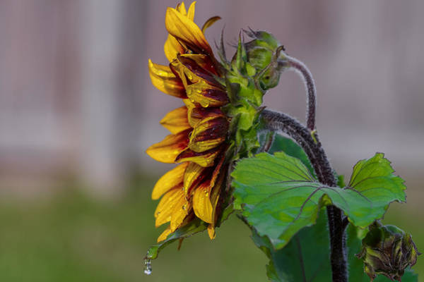 Photograph - Sunflower After A Shower by Jerry Gammon