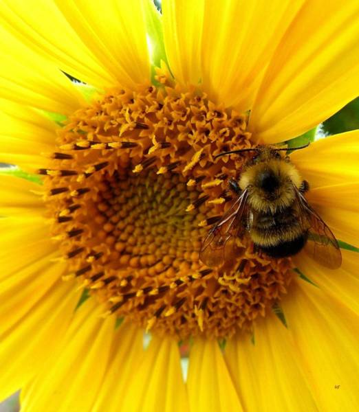 Wall Art - Photograph - Sunflower And A Bee by Will Borden