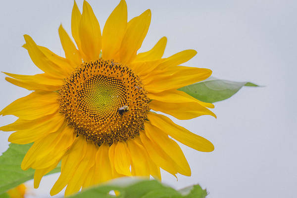 Photograph - Sunflower And Bee by Amber Flowers