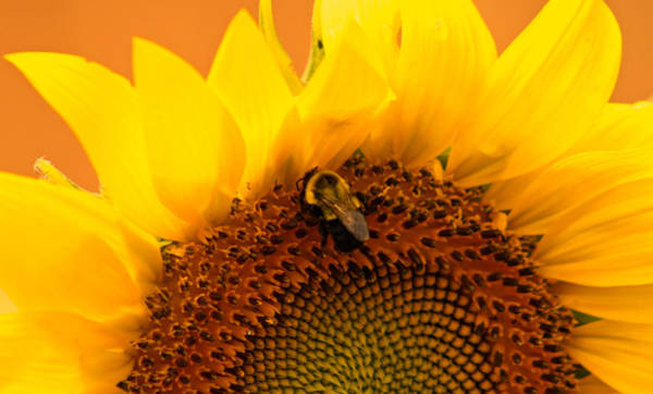 Wall Art - Photograph - Sunflower And Bee by Kay Novy