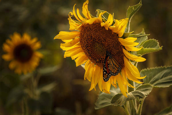 Sunflower And Butterfly Art Print