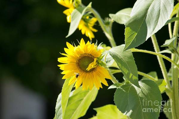 Photograph - Sunflower And Honey Bee by Ms Judi