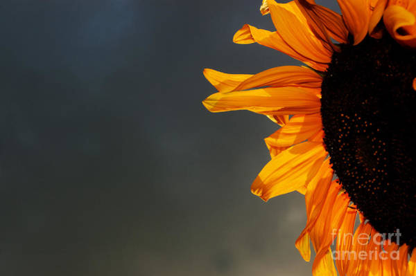 Stormcloud Photograph - Sunflower And Stormcloud by Colin Woods
