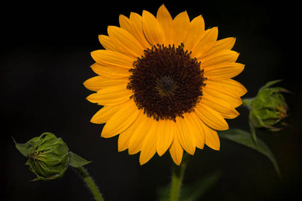 Photograph - Sunflower And Two To Be by Jerry Gammon