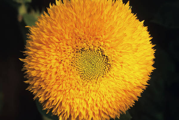 Helianthus Annuus Photograph - Sunflower by Ann Pickford/science Photo Library
