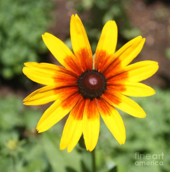 Wall Art - Photograph - Sunflower At Full Bloom  by John Telfer