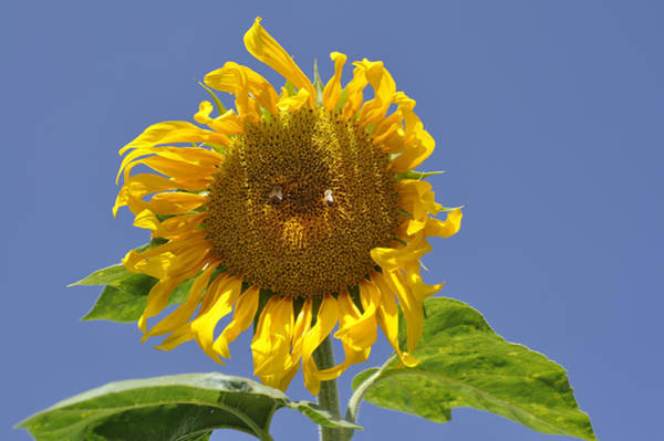 Photograph - Sunflower At Latrun by Dubi Roman
