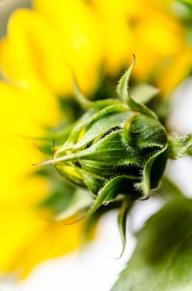 Photograph - Sunflower Blossom by Sotiris Filippou