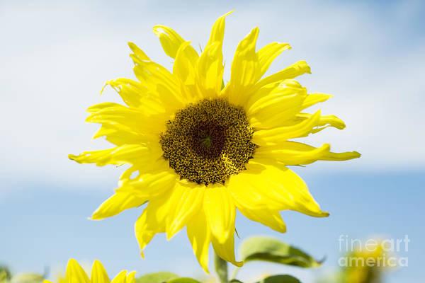 Photograph - Sunflower by Charmian Vistaunet