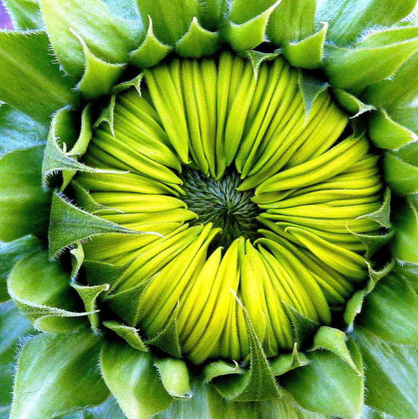 Photograph - Sunflower Closed by Jeff Lowe