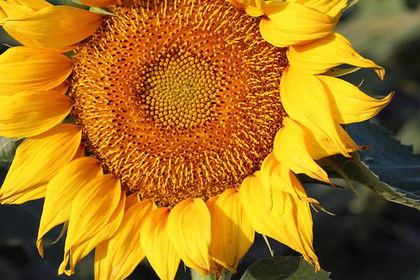 Photograph - Sunflower - Closeup by Susan Schroeder