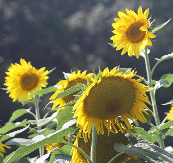 Conyers Photograph - Sunflower Cluster 2 by Cathy Lindsey