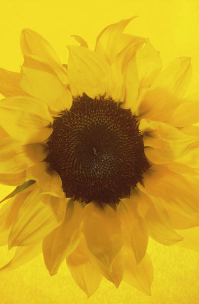 Wall Art - Photograph - Sunflower by Cristina Pedrazzini/science Photo Library