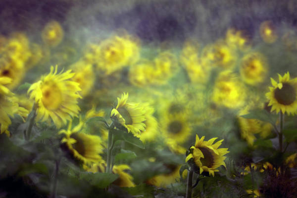 Sunflowers Photograph - Sunflower by Dan-ca