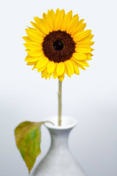 Flowers In A Vase Photograph - Sunflower by Dave Bowman
